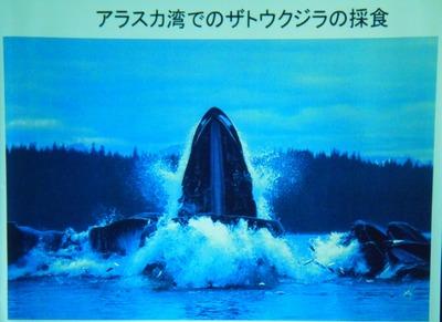 11アラスカ湾でのザトウクジラの採食.jpg