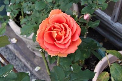 12月2日の薔薇1.jpg