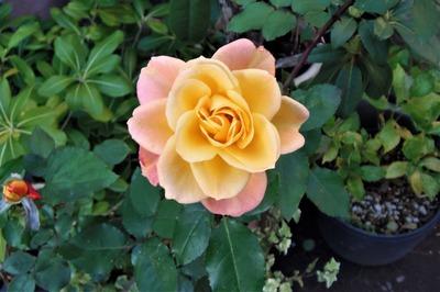 12月2日の薔薇2.jpg
