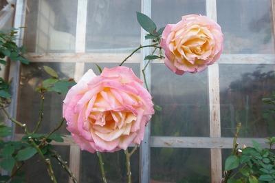 12月2日の薔薇4.jpg