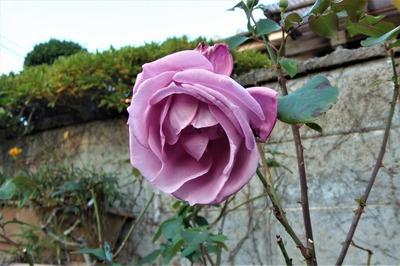 12月2日の薔薇5.jpg
