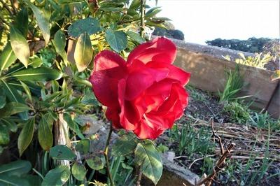 12月2日の薔薇6.jpg