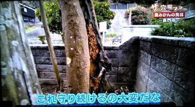 16夏みかん原樹管理1.jpg