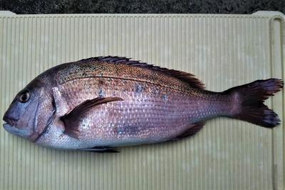 2.5kg 50cmの真鯛.jpg