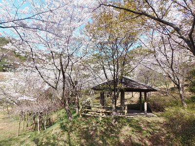 2014年4月1日の桜2.jpg