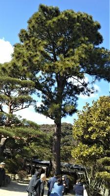 30mの松の木.jpg