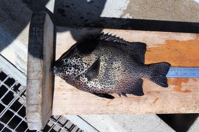35cmの石鯛2.jpg