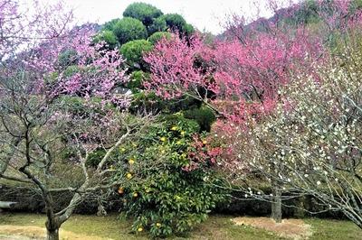 3色の梅の花と夏みかん20.2.5.jpg