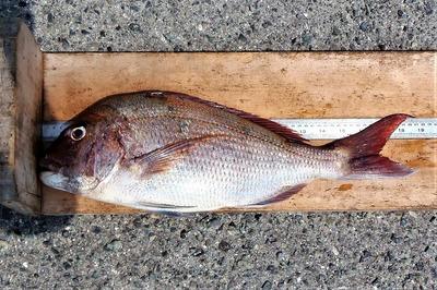 57cmの鯛.jpg