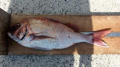 64cmの鯛1.jpg