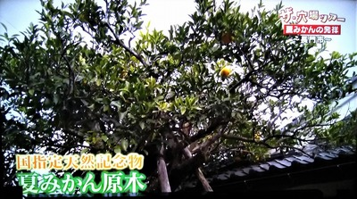 9夏みかん原樹.jpg