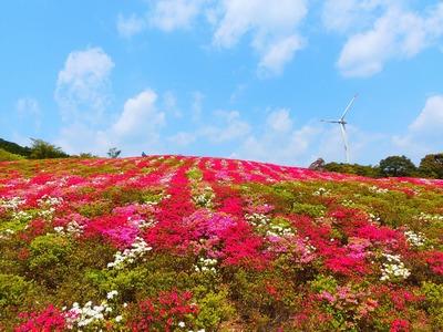 「彩りの丘のツツジ」2.jpg