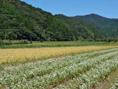 そば畑と色づいた田んぼ.jpg