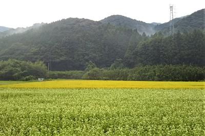 そば畑と黄金色の田んぼ.jpg