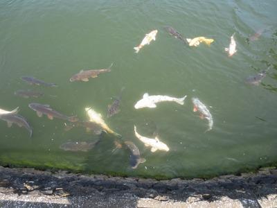 たくさんの鯉.jpg