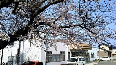 ほっちゃテレビさんと満開の桜.jpg