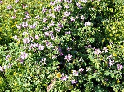 れんげの花.jpg