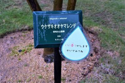 ウケザキオオヤマレンゲ1.jpg