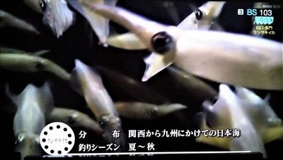 ケンサキイカ1.jpg