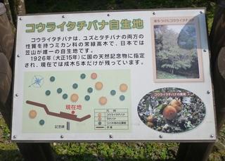 コウライタチバナ自生地説明.jpg