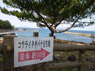 コウライタチバナ自生地道案内.jpg