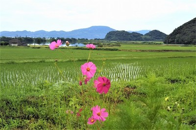 コスモス と水田1.jpg
