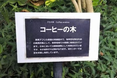 コーヒーの木1.jpg