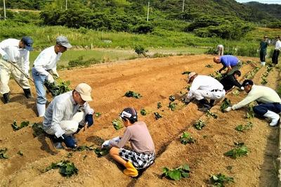 サツマイモ苗植え1.jpg