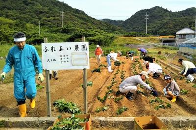 サツマイモ苗植え2.jpg