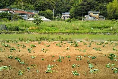 サツマイモ苗植え完了.jpg