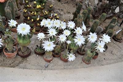 サボテンの花1.jpg