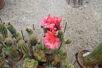 サボテンの花3.jpg