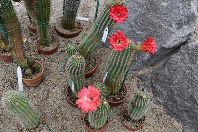 サボテンの花4.jpg