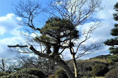 サルスベリの木から松が生えています。.jpg