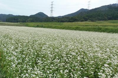 ソバの花1.jpg