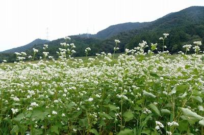 ソバの花2.jpg