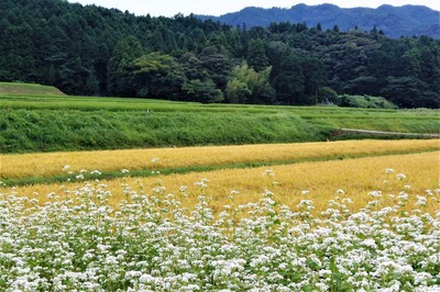 ソバの花と黄金色の田んぼ1.jpg
