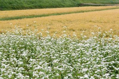 ソバの花と黄金色の田んぼ2.jpg