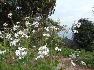 ダイコンの花.jpg