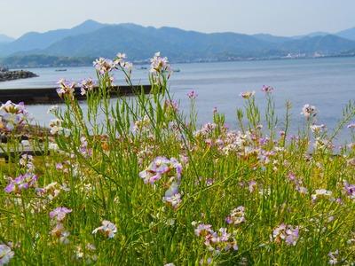 ダイコンの花2.jpg