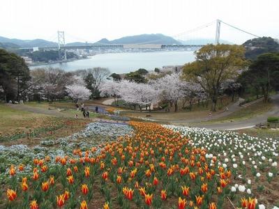 チュウリップと満開の桜と関門橋.jpg