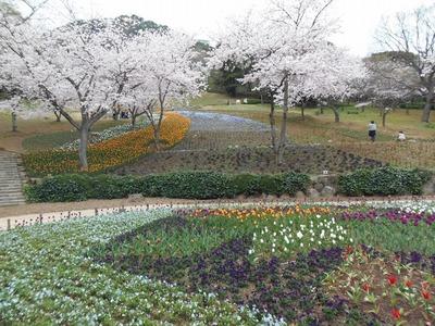 チューリップと満開の桜1.jpg