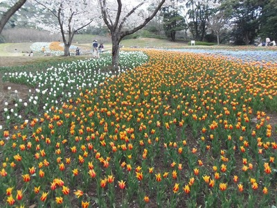 チューリップと満開の桜2.jpg