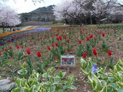 チューリップと満開の桜3.jpg