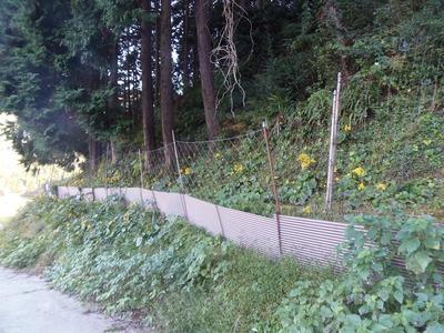 ツワブキの花1.jpg