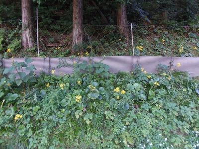 ツワブキの花2.jpg