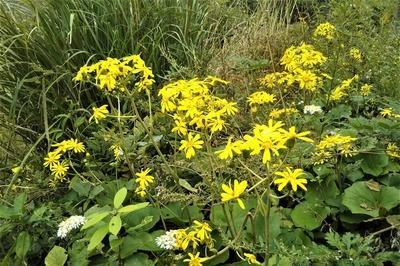 ツワブキの花3.jpg