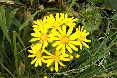 ツワブキの花4.jpg
