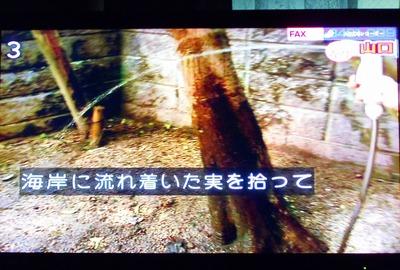 ナツミカン原樹1.jpg