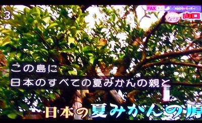 ナツミカン原樹3.jpg